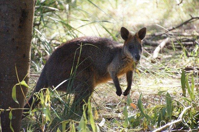 3. Das Große Känguru